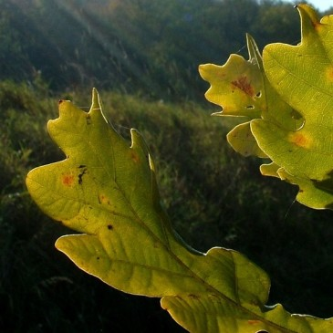 Až opadá listí z dubu… bude jaro.